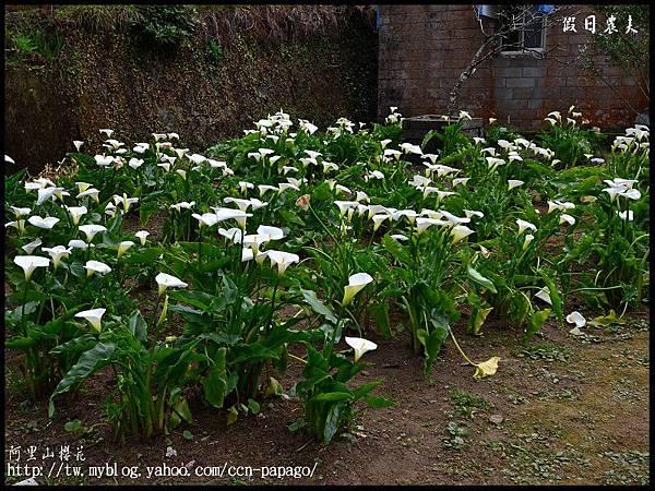 阿里山櫻花DSC_4093