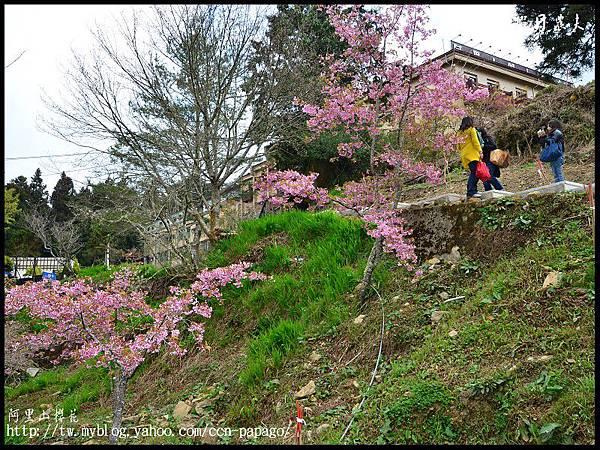 阿里山櫻花DSC_4124
