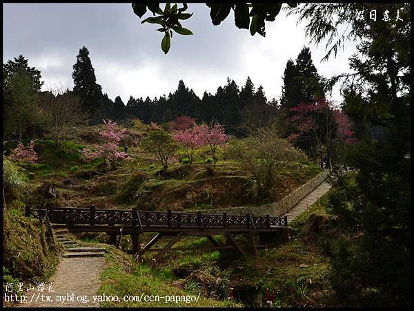阿里山櫻花DSC_4128