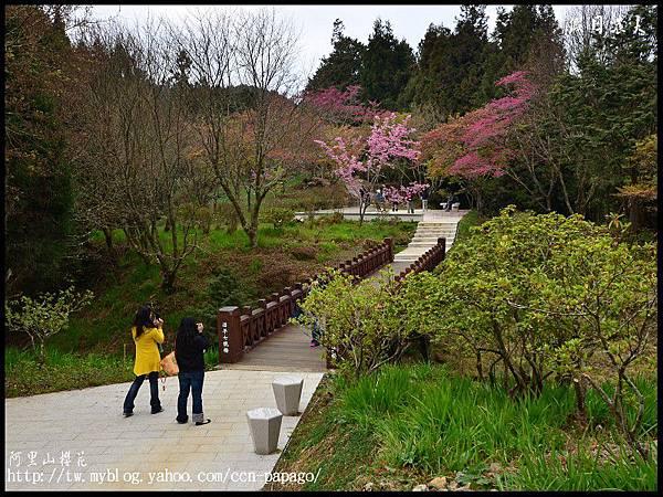 阿里山櫻花DSC_4129