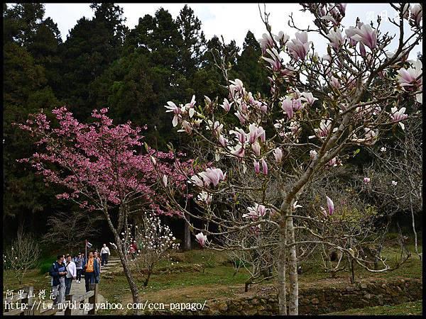 阿里山櫻花DSC_4153