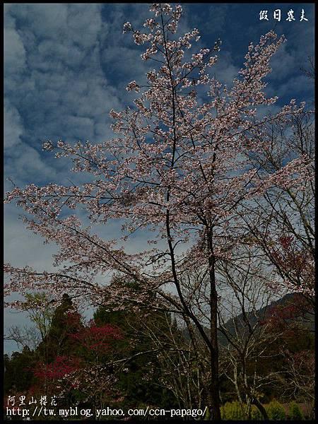 阿里山櫻花DSC_4179
