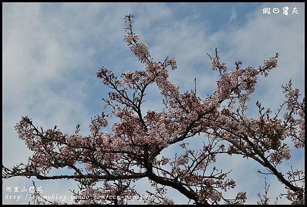 阿里山櫻花DSC_4266
