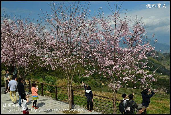 隙頂河津櫻DSC_4341