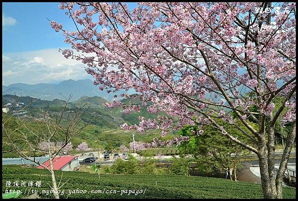 隙頂河津櫻DSC_4347