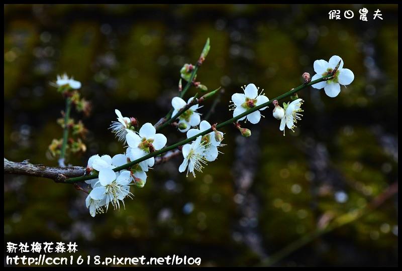 新社梅花森林DSC_1311