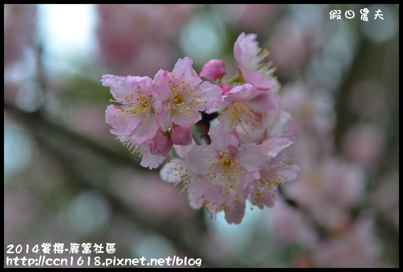 2014賞櫻-鹿篙社區DSC_4415