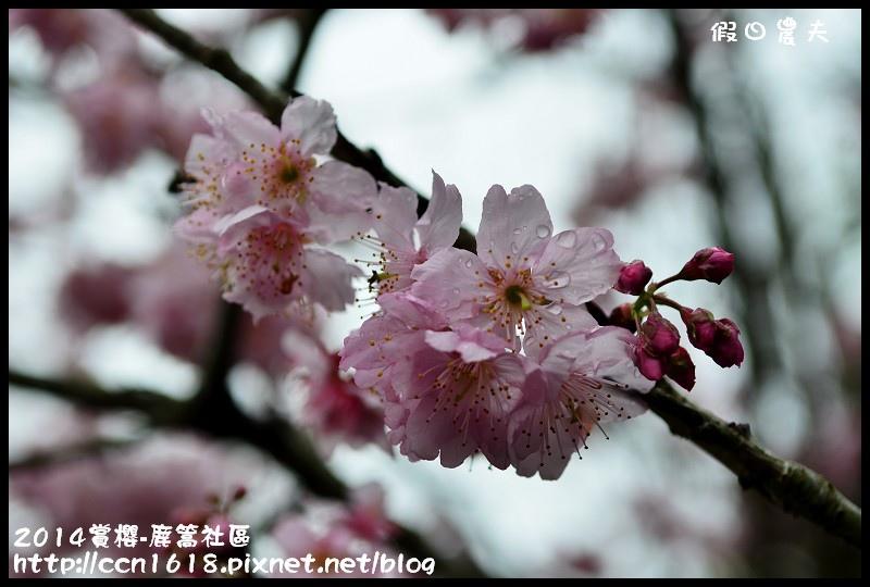 2014賞櫻-鹿篙社區DSC_4418