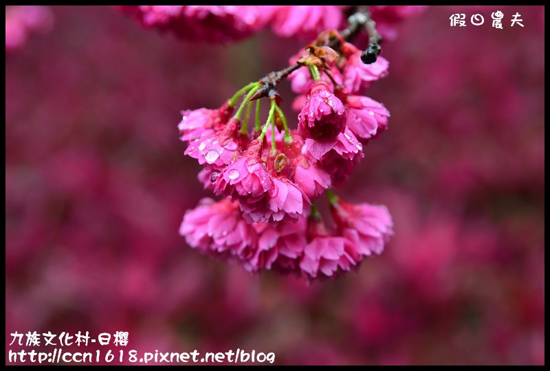 九族文化村-日櫻DSC_4581