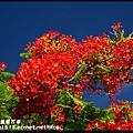 溪州綠筍路鳳凰花道DSC_8816