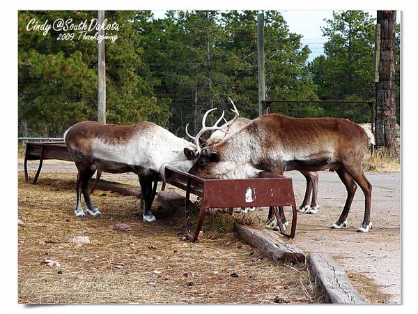 Bear Country-03-Reindeer.jpg