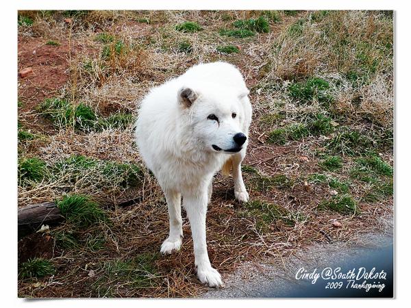 Bear Country-04-Arctic Wolves.jpg