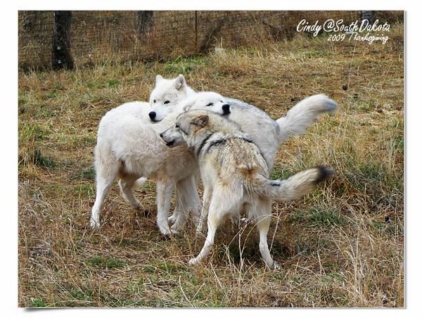 Bear Country-05-Arctic Wolves.jpg