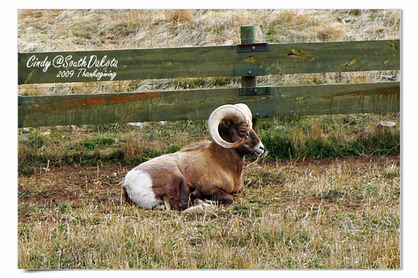 Bear Country-06-Big Horn Sheep.jpg