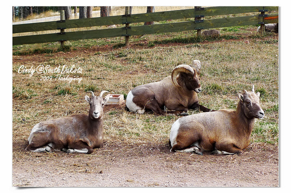 Bear Country-07-Big Horn Sheep.jpg