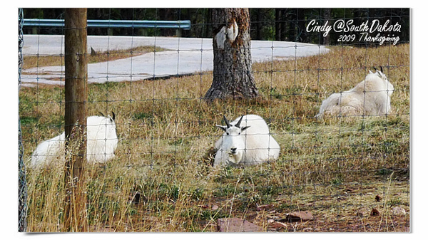 Bear Country-08-Rocky Mt Goat.jpg