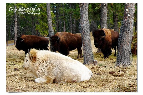 Bear Country-13-Buffalo.jpg