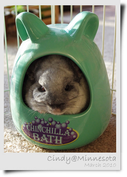 Chinchilla-01.jpg