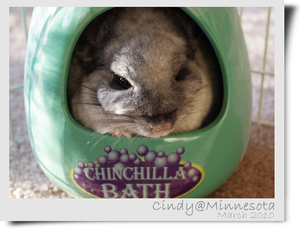 Chinchilla-02.jpg