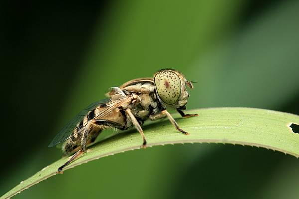 斑眼食蚜蠅.jpg