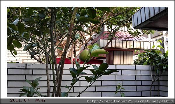 新竹柚子樹2_201107.jpg