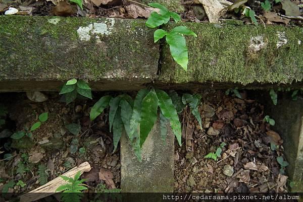 橢圓線蕨(大線蕨)Colysis pothifola (Don) Presl