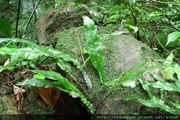 萊氏線蕨Colysis wrightii Ching