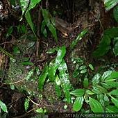 斷線蕨Colysis hemionitidea (Wall.) Presl