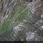 Psilotum nudum (L.) Beauv. 松葉蕨
