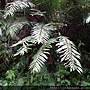Osmunda banksiaefolia (Presl) Kuhn 粗齒革葉紫萁