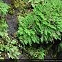 Selaginella tamariscina (Beauv.) Spring 萬年松
