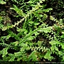 Selaginella remotifolia Spring 疏葉卷柏