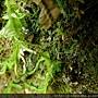Selaginella doederleinii Hieron. 生根卷柏