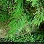 Selaginella delicatula (Desv.) Alston 全緣卷柏
