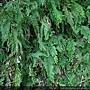 Selaginella mollendorffii Hieron. 異葉卷柏