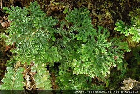 Selaginella involvens (Sw.) Spring 密葉卷柏