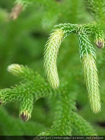 Lycopodiella cernua (L.) Pichi 過山龍