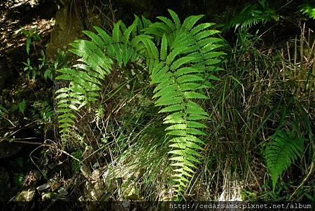 Diplopterygium glaucum (Houtt.) Nakai 裏白