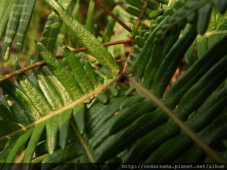 Dicranopteris linearis (Burm. f.) Underw. 芒萁
