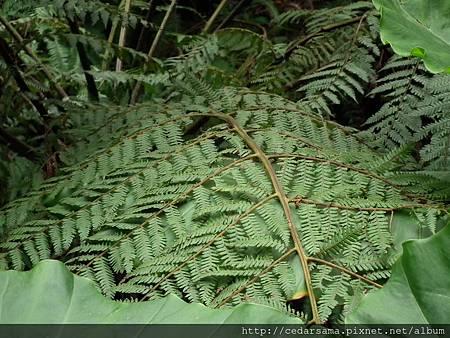 Cyathea lepifera (Hook.) Copel. 筆筒樹