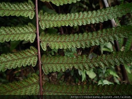 Cyathea podophylla (Hook) Copel. 鬼桫欏