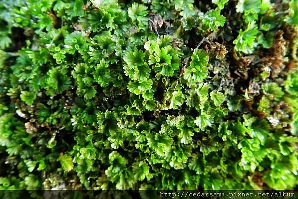 Crepidomanes minutum (Blume.)K. Iwats. 圓扇蕨