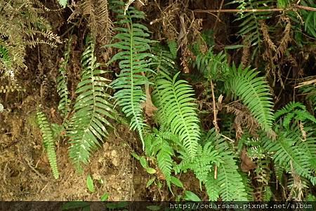 Plagiogyria dunnii Copel. 倒葉瘤足蕨
