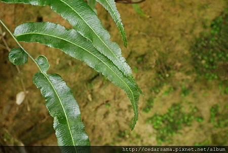 Plagiogyria euphlebia (Kunze) Mett. 華中瘤足蕨