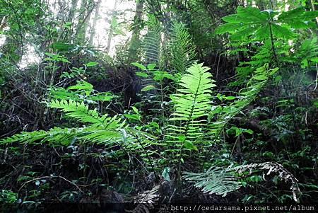 Plagiogyria formosana Nakai 臺灣瘤足蕨