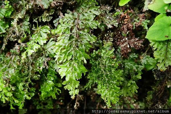 Hymenophyllum barbatum (v. d. Bosch).Bak.. 華東膜蕨