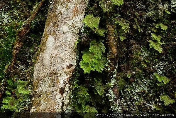 Hymenophyllum polyanthos v. d. Bosch 細葉蕗蕨