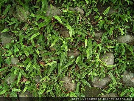 馬來鐵線蕨