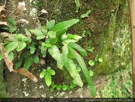 琉球鳳尾蕨