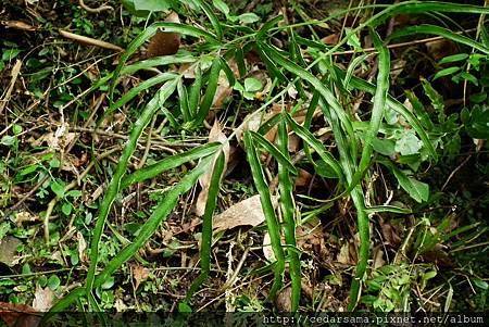 箭葉鳳尾蕨